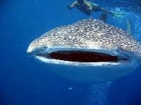 Richelieu Rock Snorkeling