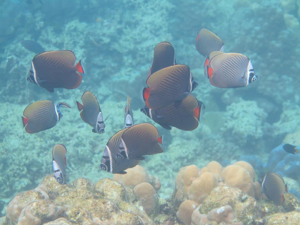 common banner fish